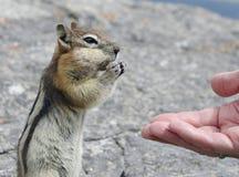 Hand Feeding a Chipmunk Stock Photos