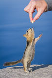 Hand feeding a chipmunk. Small chipmunk standing on his hind legs reaching for a peanut Stock Image