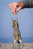 Hand feeding a chipmunk Royalty Free Stock Image