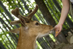 Hand feeding, deer Stock Photos
