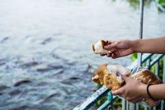 Hand feeding food to fish Royalty Free Stock Photos