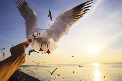 Hand feeding food to sea gull while flying hovering with sun set background. File hand feeding food to sea gull while flying hovering with sun set background Stock Image