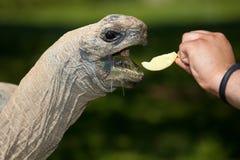 Hand feeding a giant tortoise Royalty Free Stock Photo