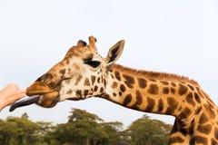 Hand feeding giraffe in africa Royalty Free Stock Photo