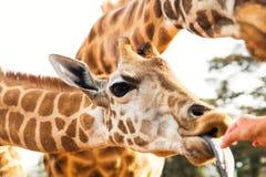 Hand feeding giraffe in africa Stock Image