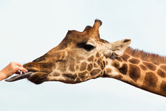 Hand feeding giraffe in africa Stock Photo