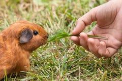 Hand feeding guinea pig. Hand feeding young guinea pig with leaf of dandelions Stock Photos