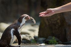 Hand feeding a Humboldt penguin with a fish stock image