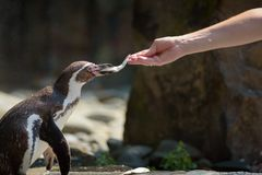 Hand feeding a Humboldt penguin with a fish stock images