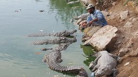 Hand feeding hungry crocodiles Stock Photo