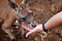 Hand Feeding a Kangaroo. My assistant hand feeds a young kangaroo stock image