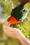 Hand feeding a king parrot bird Stock Images
