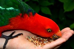 Hand Feeding King Parrot. Hand feeding seeds to a male King Parrot Stock Photography