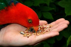 Hand Feeding King Parrot. Hand feeding seeds to a male King Parrot Royalty Free Stock Image