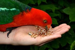 Hand Feeding King Parrot. Hand feeding seeds to a male King Parrot Royalty Free Stock Images