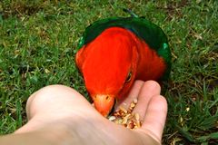 Hand Feeding King Parrot. Hand feeding seeds to a male King Parrot Royalty Free Stock Photography