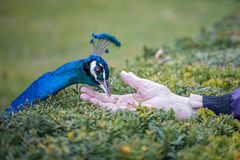 Hand feeding male blue peafowl stock photography