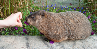 Hand feeding marmot with a flower Stock Photo
