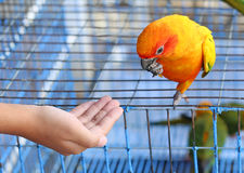 A Hand feeding a Parrot. At cage Royalty Free Stock Photo