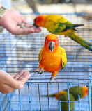 A Hand feeding a Parrot. At cage Royalty Free Stock Images