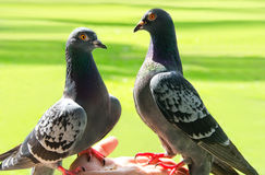 Hand feeding  pigeons. A person hand feeding seed to  two pigeons Royalty Free Stock Images
