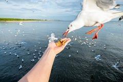 Hand feeding pork snack with seagulls Stock Photo