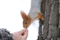 Hand feeding red squirrel. Closeup of a human hand feeding a red squirrel on a tree trunk.  Species:  Sciurus vulgaris Stock Photo
