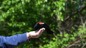 Hand feeding a red wing blackbird.  stock footage