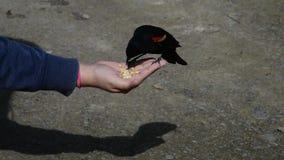 Hand feeding a red wing blackbird.  stock video footage