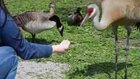 Hand feeding a sandhill crane.  stock footage