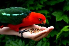 Hand Feeding King Parrot. Hand feeding seeds to a male King Parrot Royalty Free Stock Photo