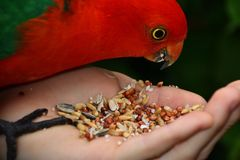 Hand Feeding King Parrot. Hand feeding seeds to a male King Parrot Stock Images