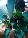 Hand feeding sergeant major fish Royalty Free Stock Photo