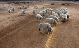 Hand feeding sheep. During a Drought  in the far north west of NSW, Australia. stock being hand fed with corn every day Stock Photo