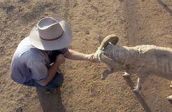 Free Hand Feeding Sheep In Outback Australia Stock Photos - 126828793