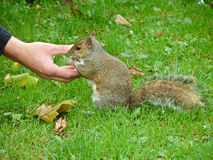 Hand feeding a squirrel. Royalty Free Stock Photos