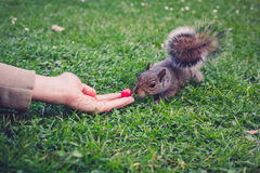 Hand feeding a squirrel Stock Photos