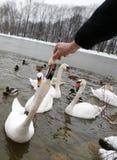 Hand feeding swan at winter. Birds on frozen lake at winter. Hand feeding swan Royalty Free Stock Image