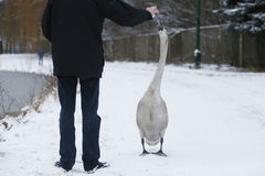 Hand feeding swan at winter. Birds on frozen lake at winter. Hand feeding swan Royalty Free Stock Photography