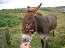 Hand feeding a sweet donkey. Outdoors Royalty Free Stock Photo