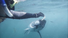Hand feeding a tuna. A tourist hand feeds a farmed bluefin tuna stock video footage