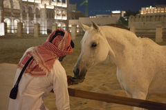 Hand feeding a white Arabic thoroughbred horse in Doha, Qatar Royalty Free Stock Images