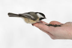 Hand Feeding a Wild Chickadee Stock Images