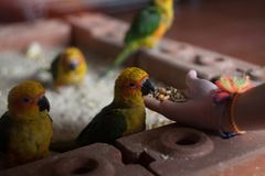 Hand feeding young parrots. Grain Stock Images