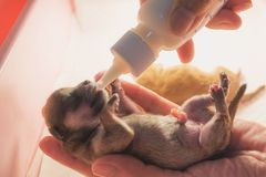 Hand of female breast milk for sweet puppy. Royalty Free Stock Images