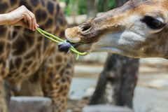 Hand of female giving cowpea to giraffe in Thailand Stock Image