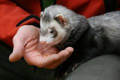 Hand and ferret Royalty Free Stock Image