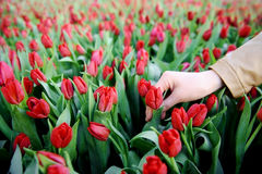 Hand in a field of red tulips Stock Photo