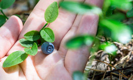 Hand filled with blueberries. In the background blueberry bushes. Summertime activities Royalty Free Stock Image