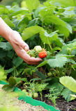 Hand and first ripe strawberries in the gard stock photo